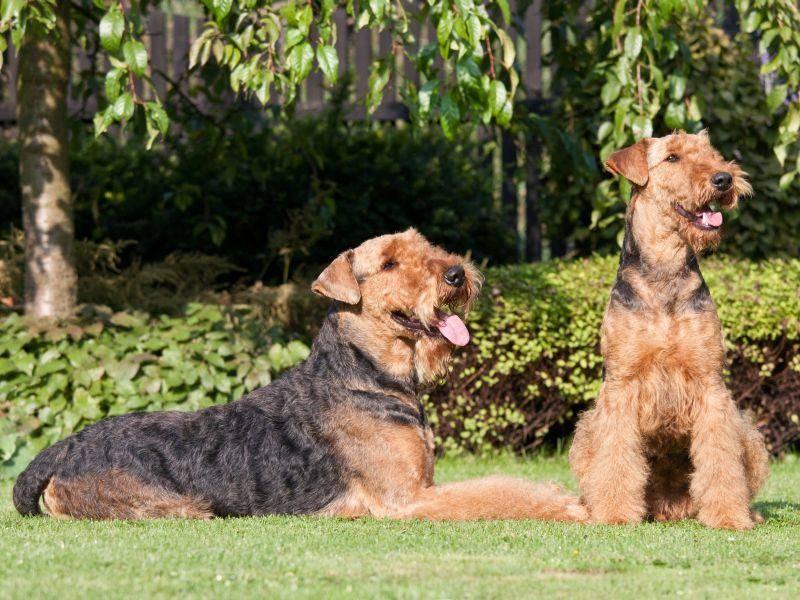 Süß, diese zwei Airedale-Terrier-Kumpel, oder? – Bild: Shutterstock / Lenkadan