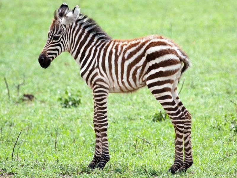 Zebras können bis zu 25 Jahre alt werden – Bild: Shutterstock / H. van der Winden