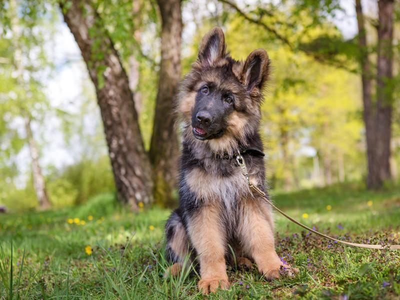 Was wohl die Neugier dieses jungen Belgischen Schäferhunds geweckt hat? – Bild: Shutterstock / mdmmikle