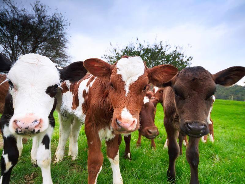 Kühe in den Alpen sind oft braun gescheckt, in Norddeutschland gibt es mehr schwarz-weiße Tiere – Bild: Shutterstock / Pawel Papis