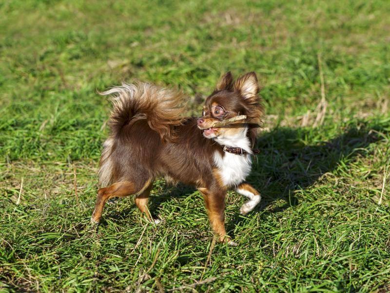 Das schöne Braun ist eine seltenere Fellfärbung bei Chihuahuas – Bild: Shutterstock / Nikolai Pozdeev