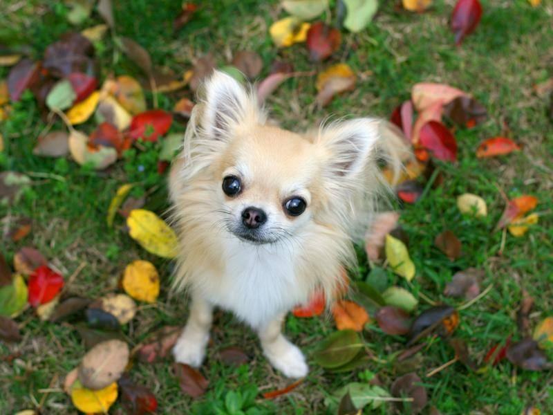 Kuckuck, kleiner Chihuahua – Bild: Shutterstock / padu_foto