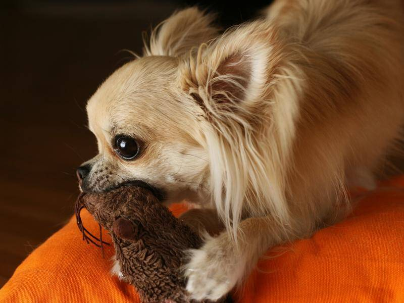 Dieser niedliche Langhaar-Chihuahua hat aber eine ordentliche Beute erlegt – Bild: Shutterstock / padu_foto