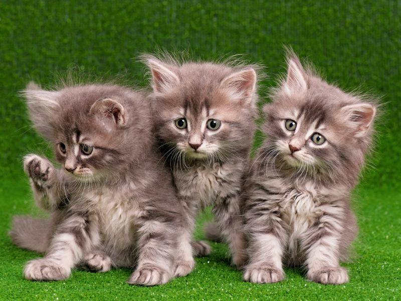 Diese putzigen Maine-Coon-Kitten gehören auf jeden Fall unter die Top 5 der süßesten Katzenbabys – Bild: Shutterstock / DenisNata