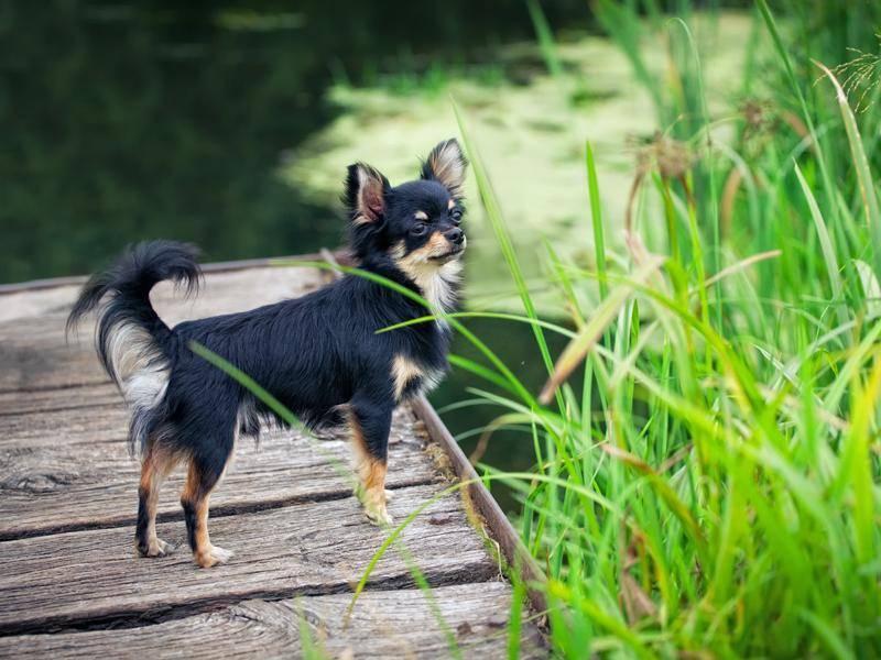 Dieser süße Chihuahua scheint ins kühle Nass springen zu wollen – Bild: Shutterstock / Julia Shepeleva