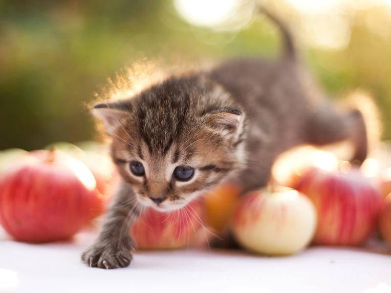 Taps, taps – ganz vorsichtig stapft dieser flauschige Zwerg durch die Äpfel – Bild: Shutterstock / Lapina