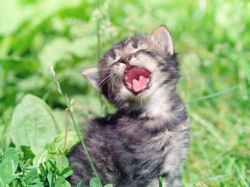 Was für ein gesprächiges Katzenbaby! – Bild: Shutterstock / vvvita