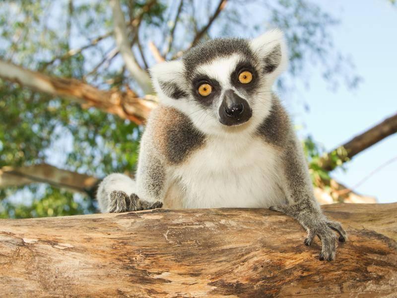Lemuren sind neugierige Zeitgenossen – Bild: Shutterstock / Praisaeng
