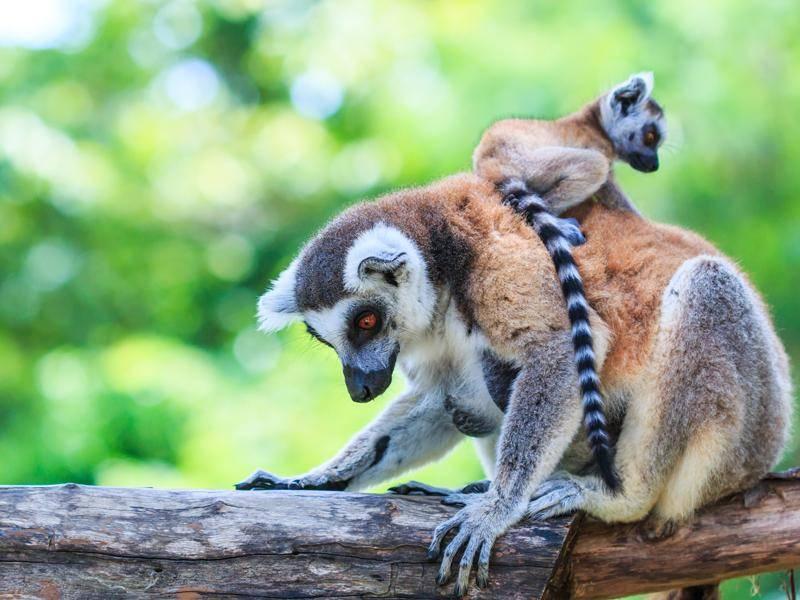 Auch als Babys haben sie schon ihren typischen Ringelschwanz – Bild: Shutterstock / apiguide