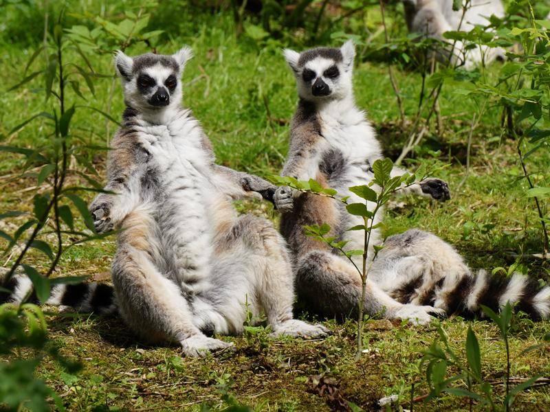 Diese menschenähnliche Sitzhaltung ist typisch für die Primatenart – Bild: Shutterstock / DianaJW