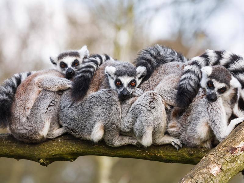 Sie leben meistens in Gruppen von 13 bis 15 Tieren – Bild: Shutterstock / Paul Maguire