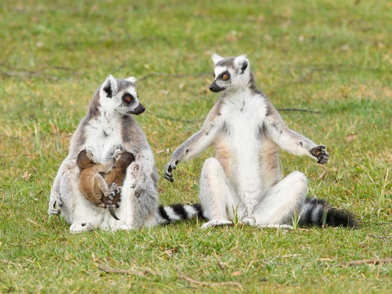 Diese Lemurenbabys sind aber noch winzig klein und süß! – Bild: Shutterstock / Micha Klootwijk