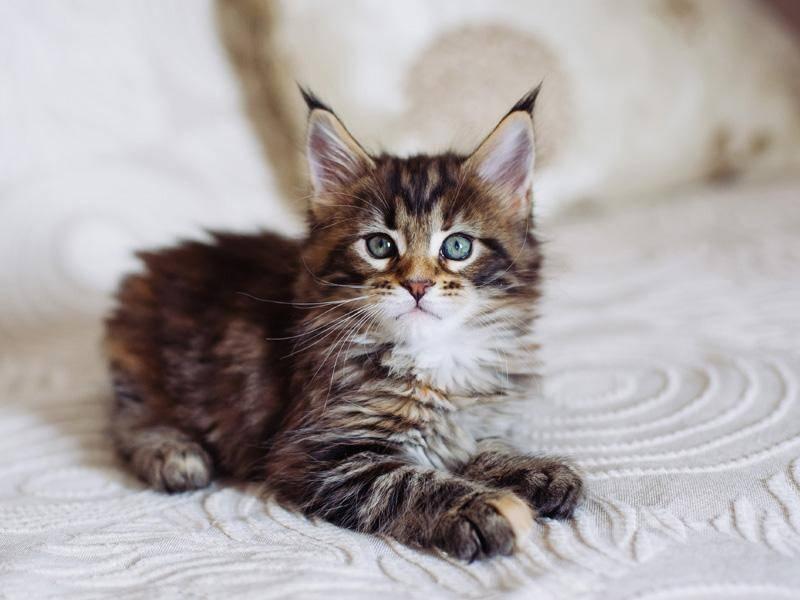 Maine-Coon-Katzen sind auch als Babys schon wunderschön – Bild: Shutterstock / Grigoriy Pil
