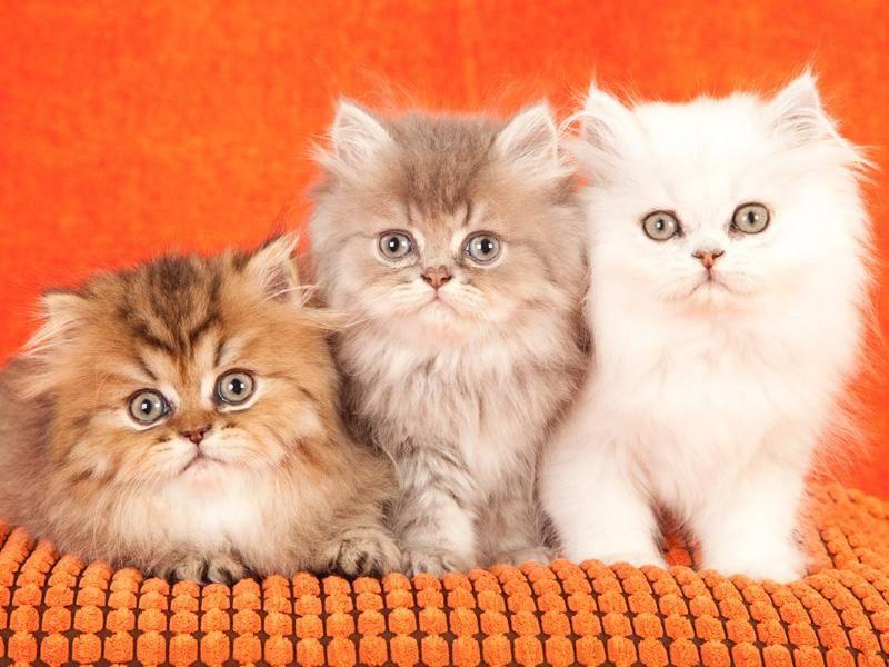 Was für ein bezaubernd süßes Trio diese Perserkitten abgeben – Bild: Shutterstock / Linn Currie