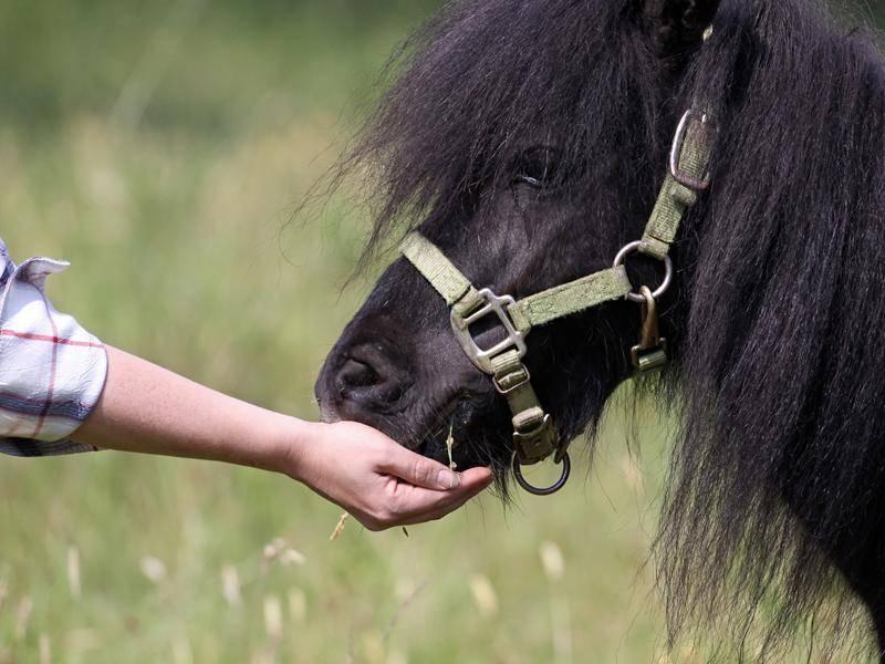Die Minipferde haben oft einen sehr eigenwilligen Charakter – Bild: Shutterstock / Reddogs