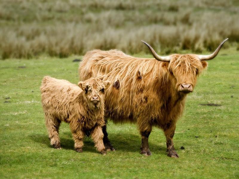 Die langhaarigen Scottish-Highland-Rinder stammes aus Schottland – Bild: Shutterstock / Pixage Photography
