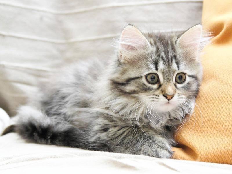 Auch die Sibirische Katze hat tolles, langes Fell – Bild: Shutterstock / Massimo Cattaneo