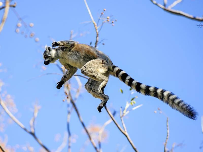 Obwohl Kattas vorwiegend am Boden leben, können sie ganz schön weit springen – Bild: Shutterstock / Arto Hakola