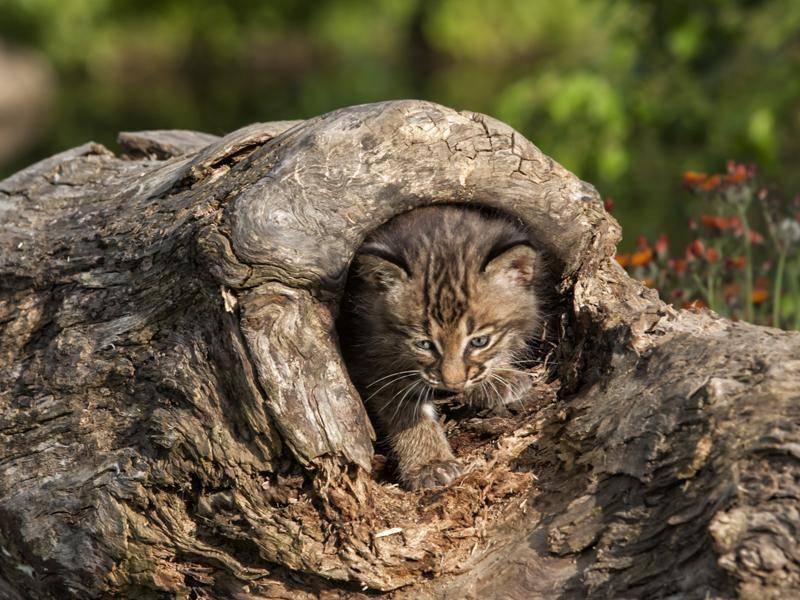 Perfekte Tarnung, kleine Samtpfote! – Bild: Shutterstock / Debbie Steinhausser