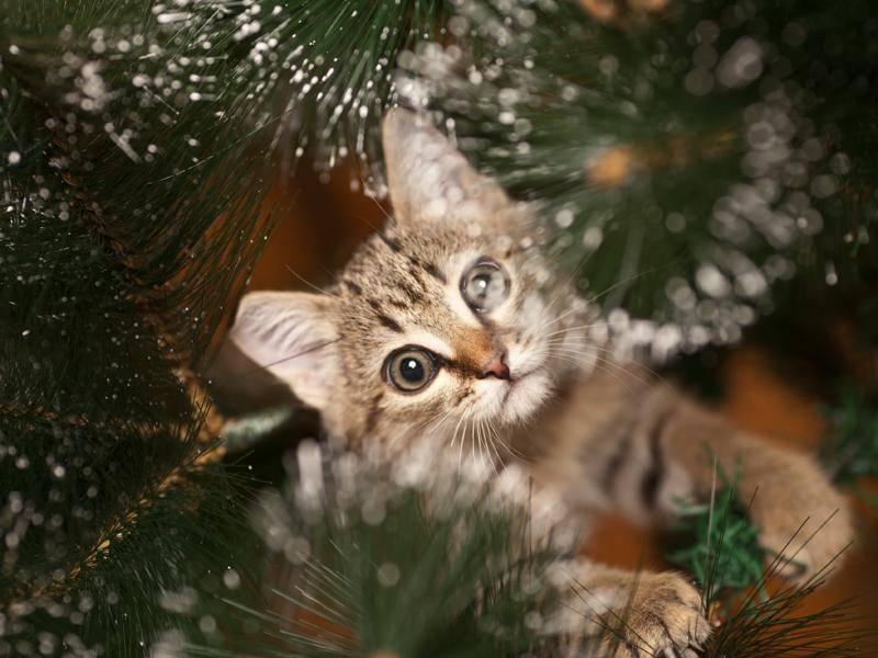 Im Weihnachtsbaum zu toben, macht sicher Spaß – das beste Versteck ist er aber nicht – Bild: Shutterstock / Glovatskiy