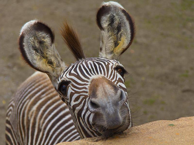 Die lustigen Zeitgenossen sind fast in ganz Afrika verbreitet, nur im Norden des Kontinents nicht mehr – Bild: Shutterstock / jushik