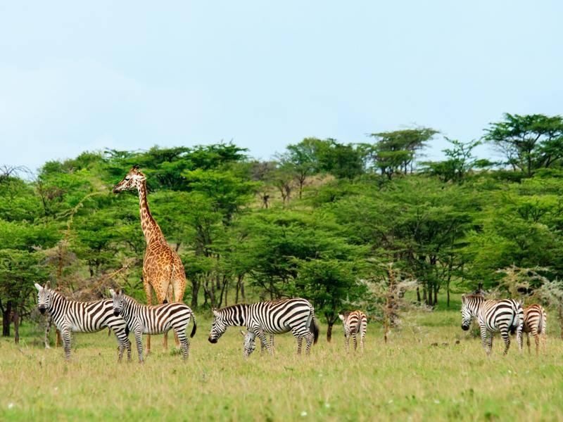 Mit Giraffen teilen sich die Streifenpferde häufig ihr Territorium – Bild: Shutterstock / Byelikova Oksana