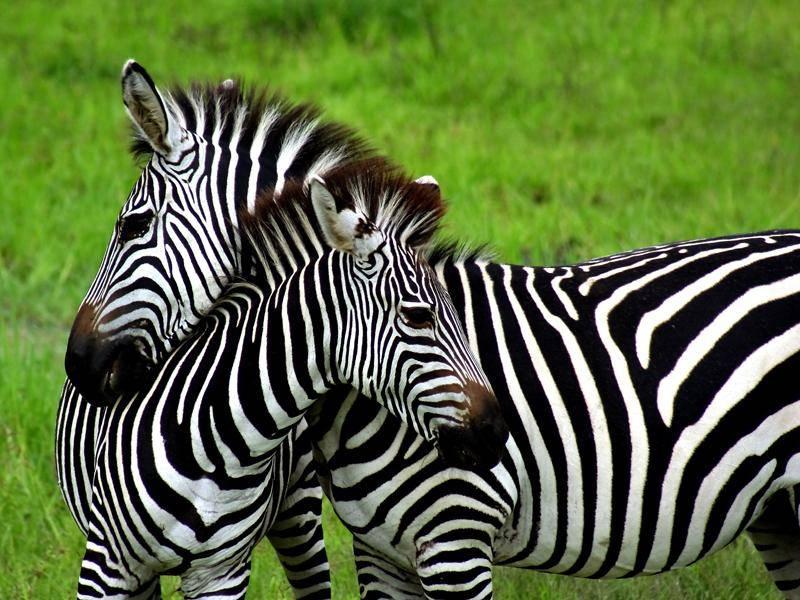 Zebras sind Herdentiere, sie brauchen den Zusammenhalt ihrer Gruppe – Bild: Shutterstock / Curioso