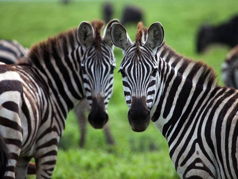 Die Tiere erreichen ein Gewicht von bis zu 400 Kilogramm – Bild: Shutterstock / Joel Shawn