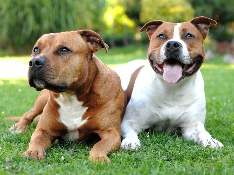 Es gibt ein- und mehrfarbige American Staffordshire Terrier – Bild: Shutterstock / Hamik