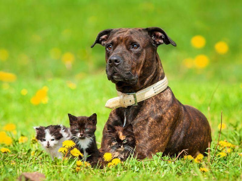 american-staffordshire-terrier-katzenbabys-shutterstock-Rita Kochmarjova