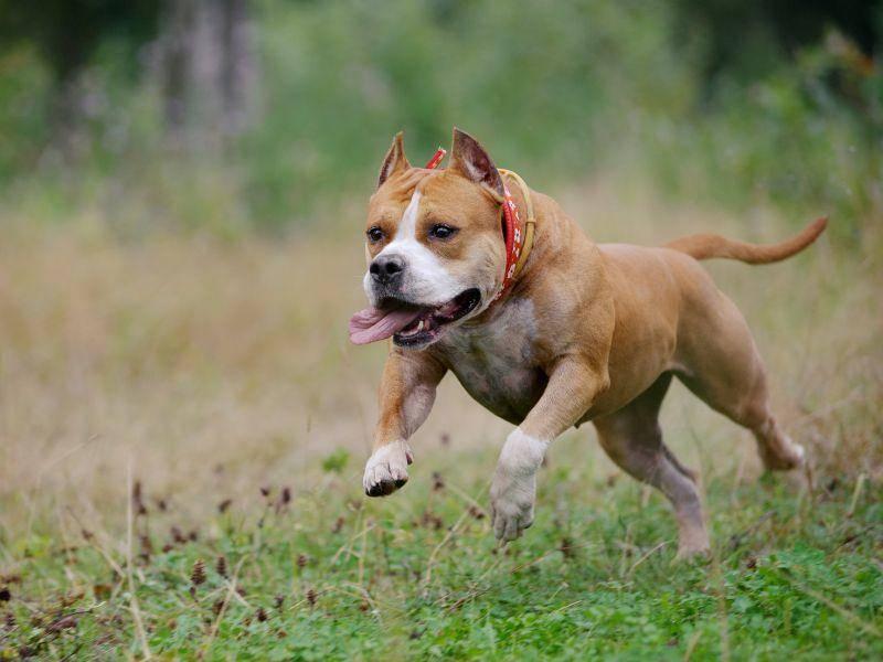 Der American Staffordshire Terrier ist ein Energiebündel, das viel Beschäftigung braucht – Bild: Shutterstock / Olga_i