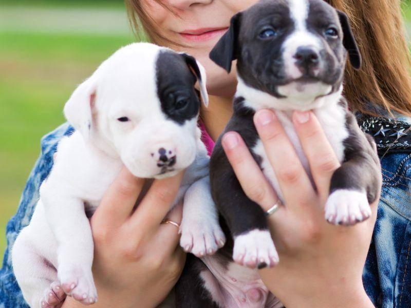 So süß ist der American Staffordshire Terrier als Welpe – Bild: Shutterstock / Sergey Lavrentev