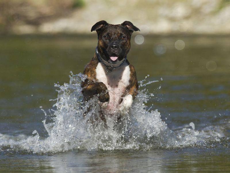 Und ab durch die Mitte! Rennen macht dem American Staffordshire Terrier so viel Spaß – Bild: Shutterstock / Nicole Hollenstein