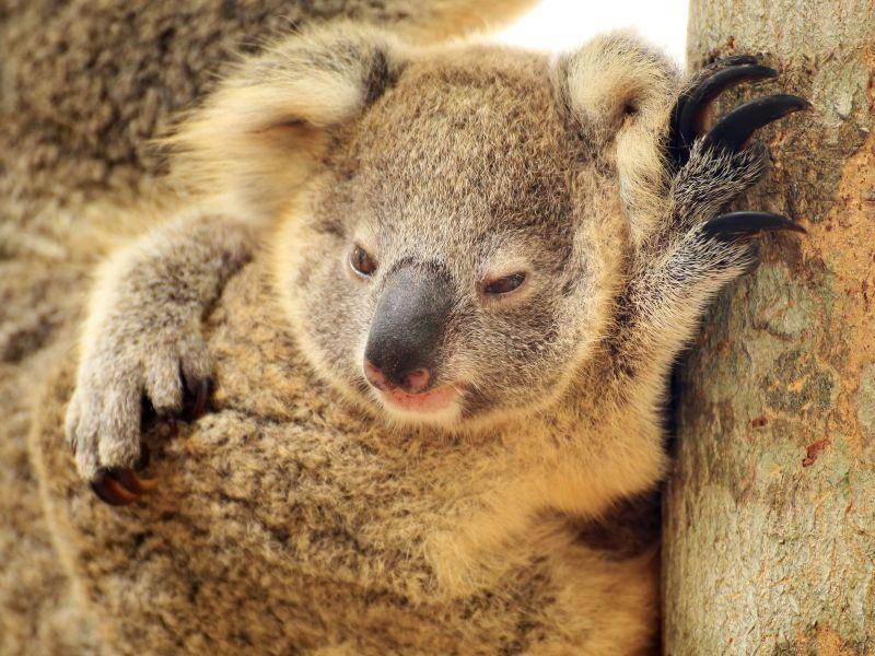"""""""Kuscheln ist schön"""", findet dieser Baby-Koala – Bild: Shutterstock / kungverylucky"""