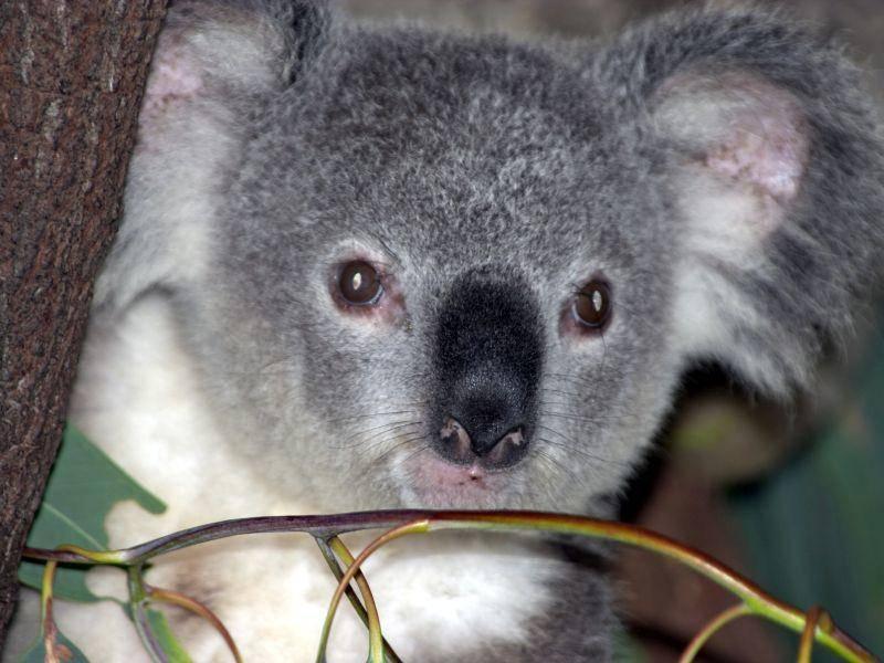 Hallo kleiner Koala! – Bild: Shutterstock / Ian Scott