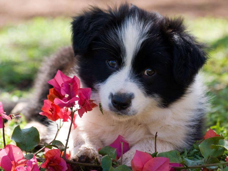 Zum Knutschen, dieser Baby-Border-Collie, oder? – Bild: Shutterstock / Debbie Aird Photography