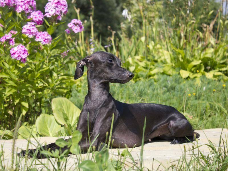 grauer-greyhound-shutterstock-Mardoyan Anaida