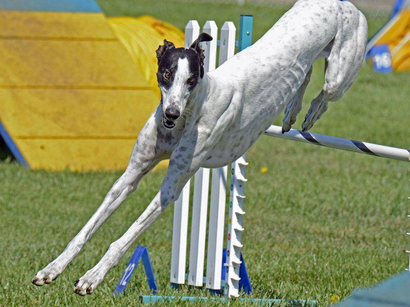 Agility ist genau das richtige für den begabten Sportler – Bild: Shutterstock / Lois McCleary