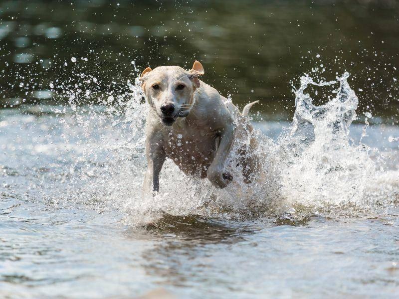 """""""Rennen macht Spaß!!!"""", da sind sich alle Greyhounds einig! – Bild: Shutterstock / Bildagentur Zoonar GmbH"""