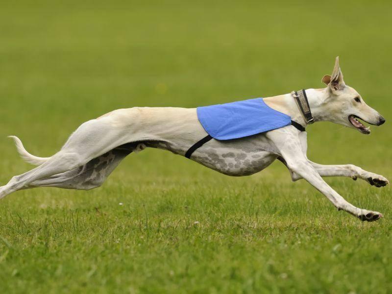 In Sachen Rennen macht dem Greyhound so schnell keiner was vor – Bild: Shutterstock / Henri Faure