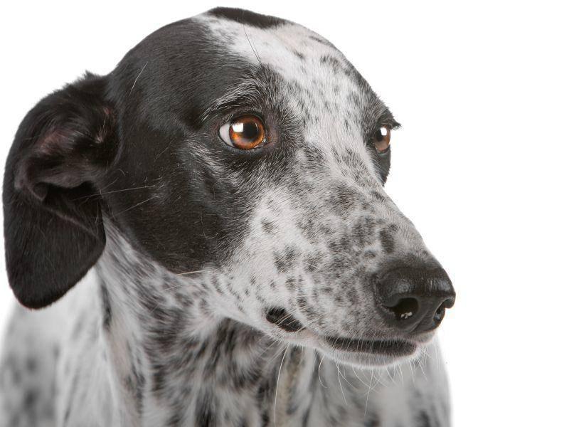 Mögliche Farben und Muster beim Greyhound: Weiß, Schwaz, Falb, Blau, Gestromt und Gescheckt – Bild: Shutterstock / Erik Lam