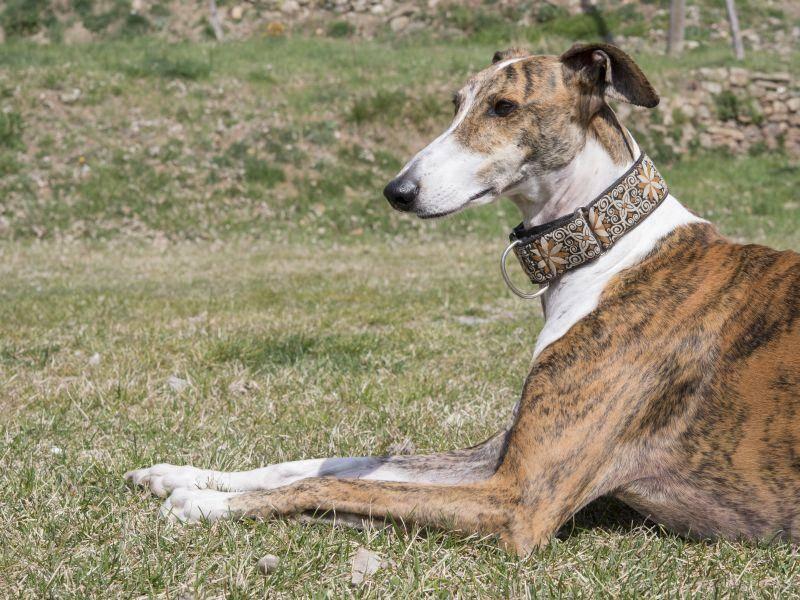 Ausgewachsen wird der Greyhound bis zu 76 cm groß und zwischen 23 und 33 kg schwer – Bild: Shutterstock / SKABARCAT