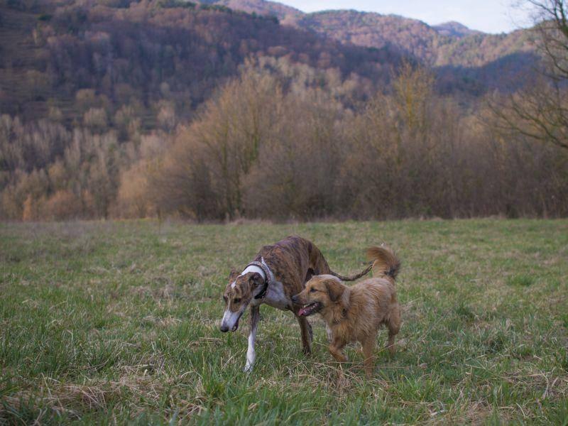 Hunde dieser Rasse sind meist verträglich und zurückhaltend – Bild: Shutterstock / SKABARCAT