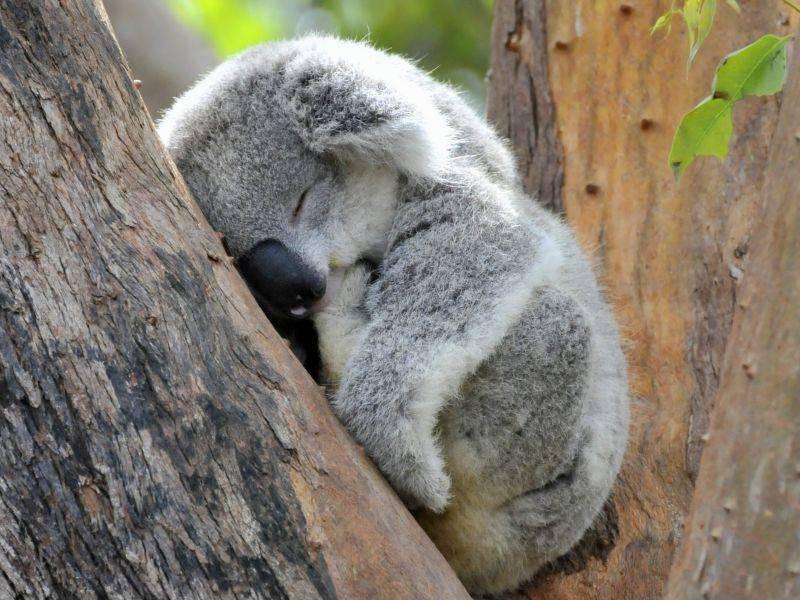 Gute Nacht, kleiner Koala – Bild: Shutterstock / Andywak