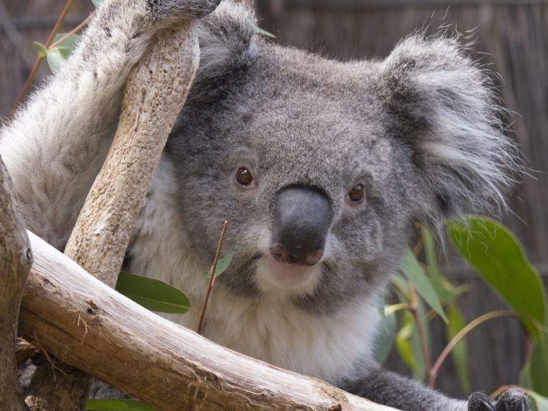 Dieser Koala ist schon fast erwachsen – Bild: Shutterstock / Lisa Strachan