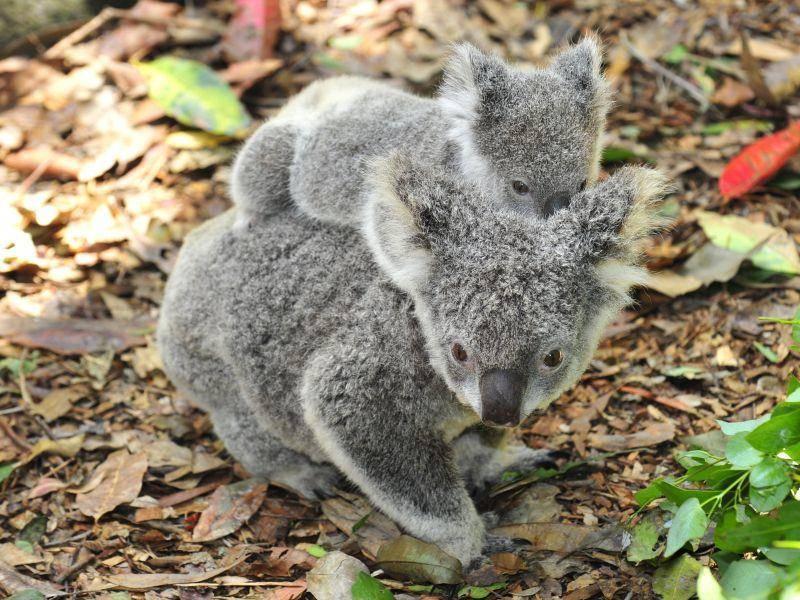 Mama-Koala und Baby-Koala – Bild: Shutterstock / worldswildlifewonders