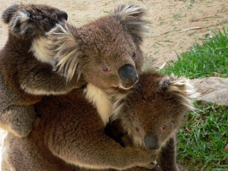 Familienzeit bei süßen Koalas – Bild: Shutterstock / Susan Flashman