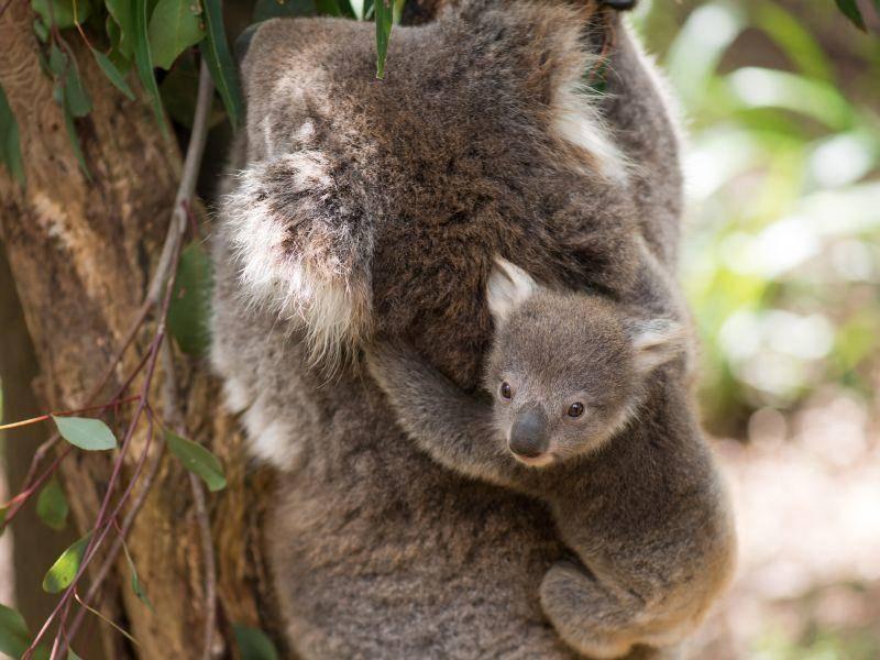 Schön festhalten, kleiner Koala! – Bild: Shutterstock / Serguei Levykin7