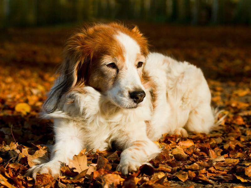 Ihr buntes, langes Fell macht Vertreter dieser Hunderasse fast unverwechselbar – Bild: Shutterstock / Burry van den Brink