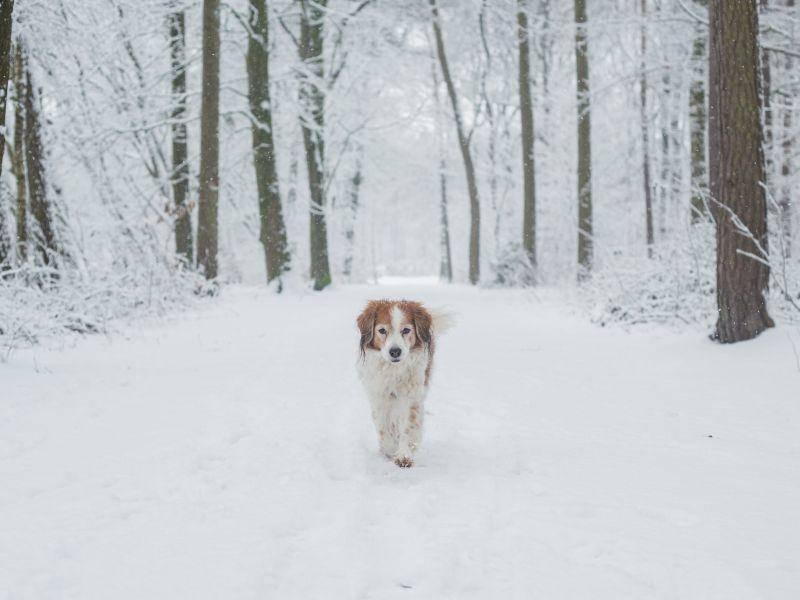 Spazierengehen: Eines der Lieblingshobbies des Kooikerhondje – Bild: Shutterstock / Burry van den Brink